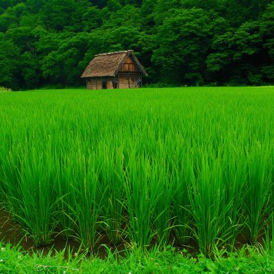 green-rice-field-wallpaper