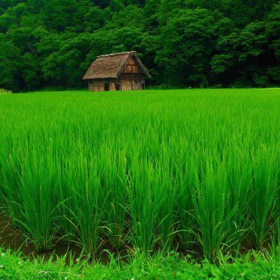 green-rice-field-wallpaper